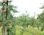 イルムの丘のりんご園 藤谷果樹園