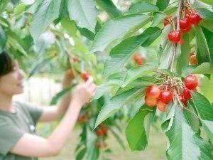 旭川市果樹協会